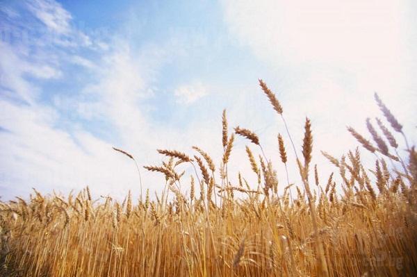 Агрохимконсулт 3 ООД - Търговия с препарати, торове и семена в Разград
