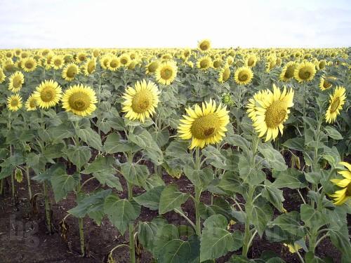ПТЗК ЕДИНСТВО - Производство и продажба на слънчоглед в Малчика, Плевен