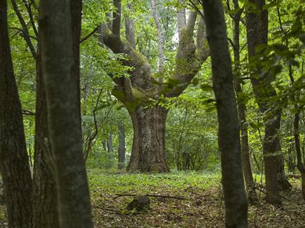 Държавно горско стопанство в Елена