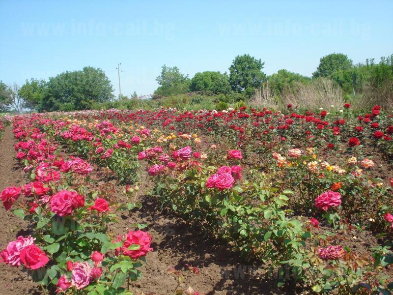 ВЛ Инвест - Отглеждане на биологична роза Чехларе